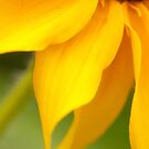 Soft Yellow Petals by April Koehler