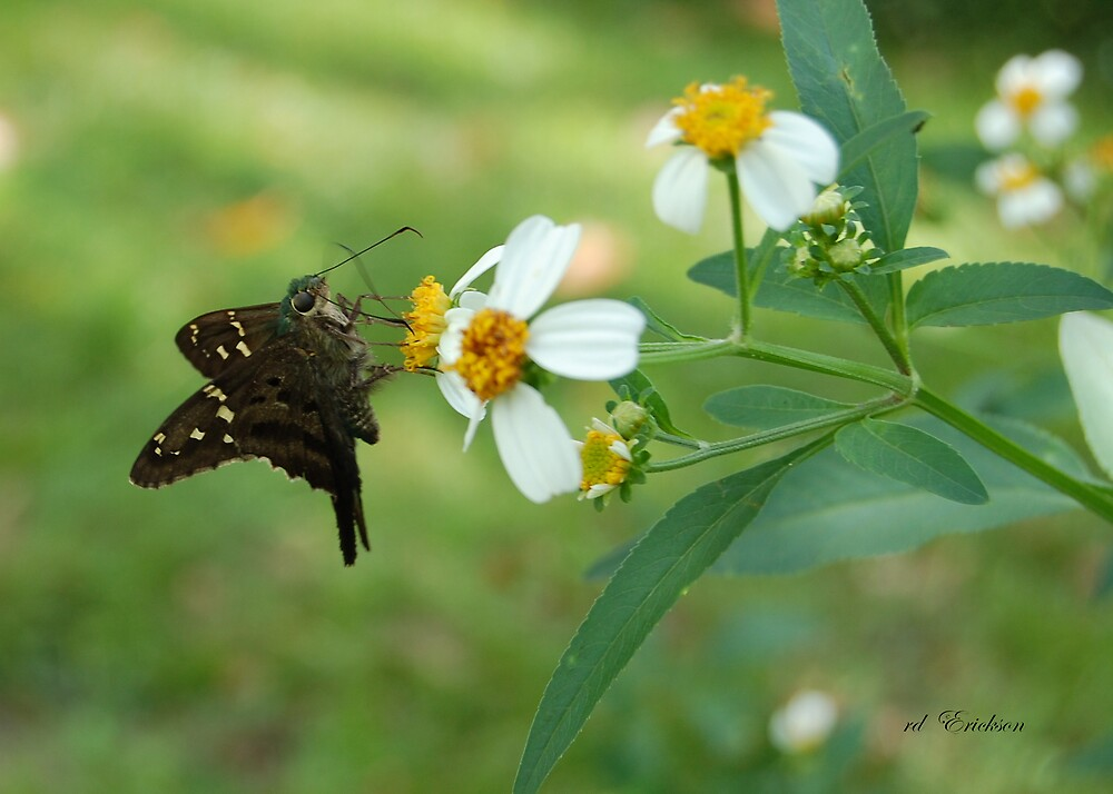 Long Tailed Skipper on Spanish Needle by rd Erickson
