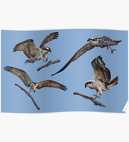 osprey collage Poster