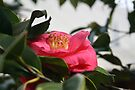 Camellia by Michelle Cocking