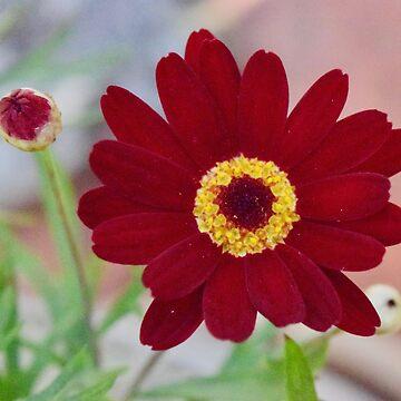 Red Daisy Bloom by LyndaAnneArt