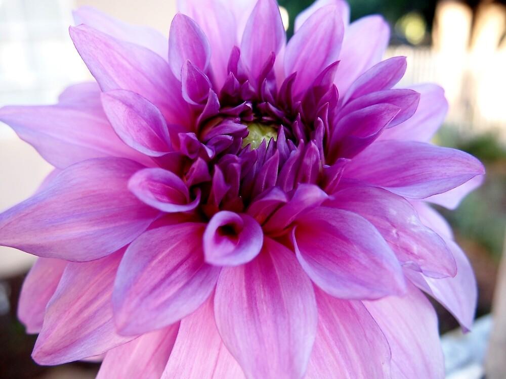 Pink Dahlia from A Gardener's Notebook by Douglas E.  Welch