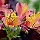Alstroemeria by Lynda Anne Williams