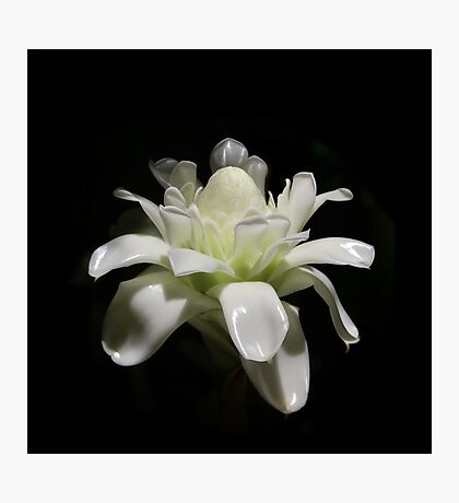 White Tropical Flower Photographic Print