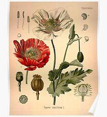 Papaver Somniferum Poster
