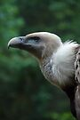 Griffon Vulture by vfphoto
