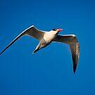 Tern in Flight by TJ Baccari Photography