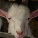 Pretty Goat by AnnDixon