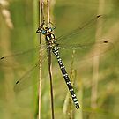 Adult Male Southern Hawker by Robert Abraham