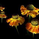 Helenium Lanterns by Ann Garrett