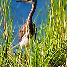 Tri-Colored Heron in the Tall Grass by TJ Baccari Photography