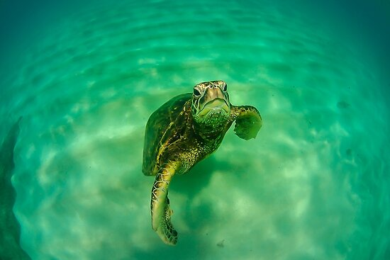 Grumpy Sea Turtle by Gosha Davis