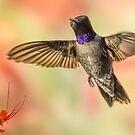 Black-chinned Hummingbird by Mike Herdering