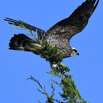 Juvenile Mississippi Kite Struggling in the Wind by Wavicles