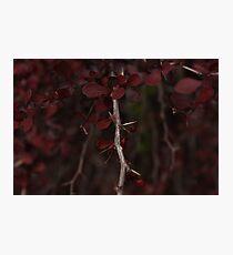 Beautiful Deep Blood Red thorn bush Photographic Print