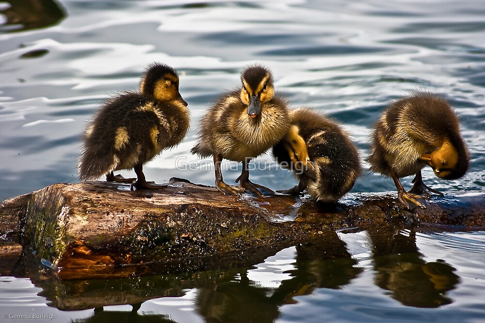 4 Little Duck went swimming one day by Gemma Burleigh
