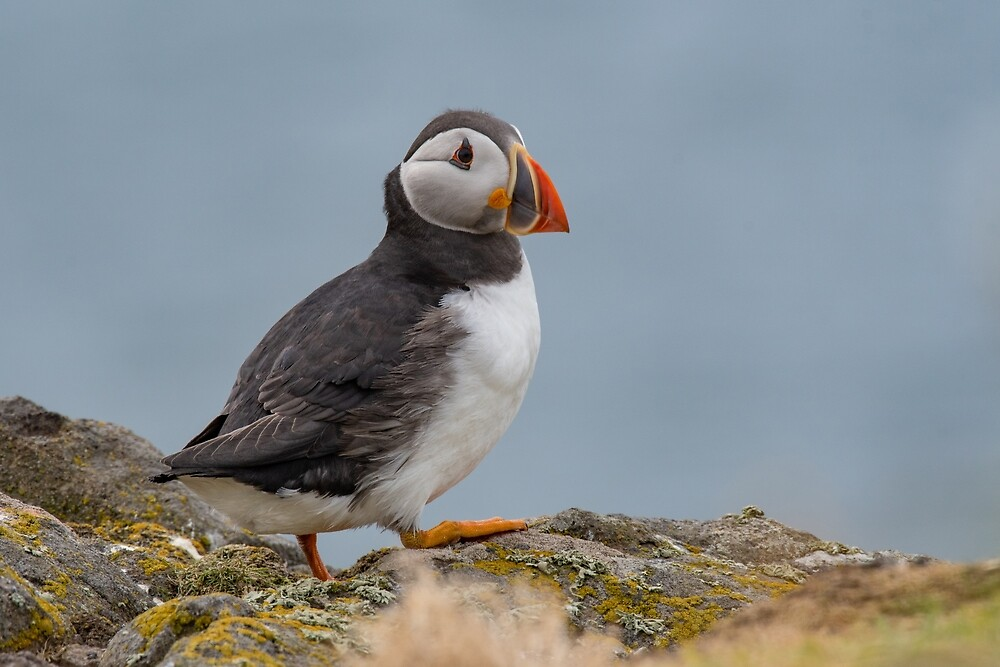 Atlantic Puffin (Fratercula arctica), standing on the cliff at Isle of May by JPopov