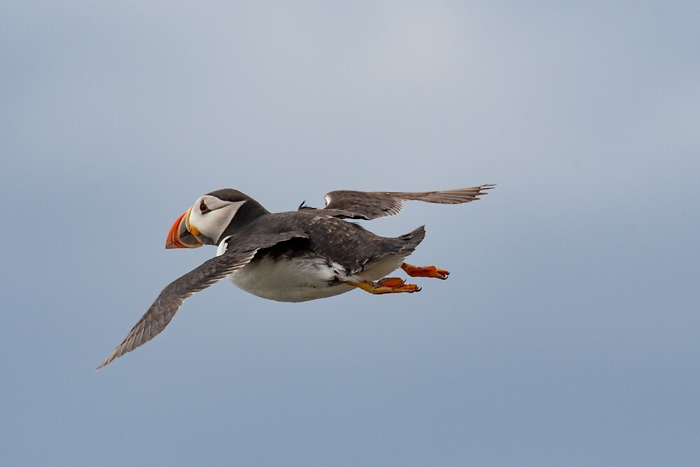 Close up of an Atlantic puffin (Fratercula arctica) by JPopov