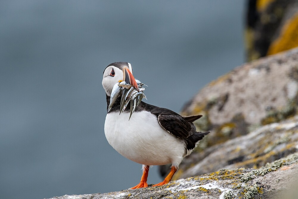 Atlantic Puffin (Fratercula arctica) at isle of May,Scotland by JPopov