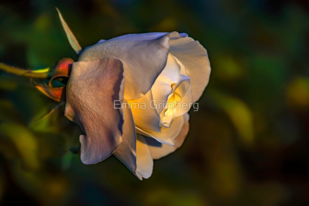 White rose flower on a green background by Emma Grimberg