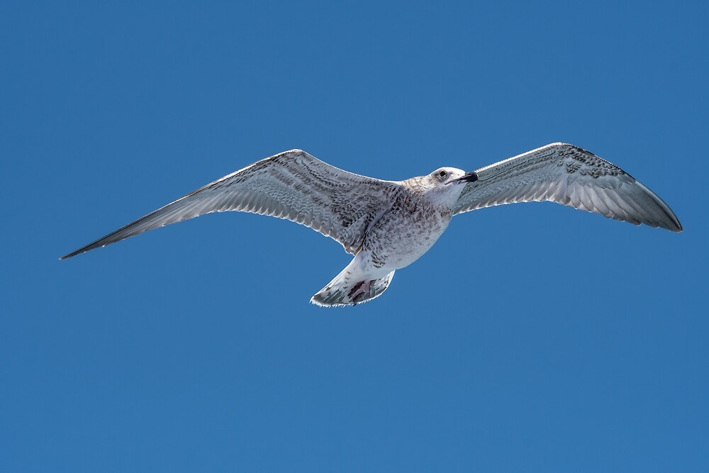JuvenileYellow-legged gull (larus michahellis) in flight on blue sky by JPopov