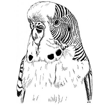 Roly - Drawing of a Budgie by LisaMarieArt