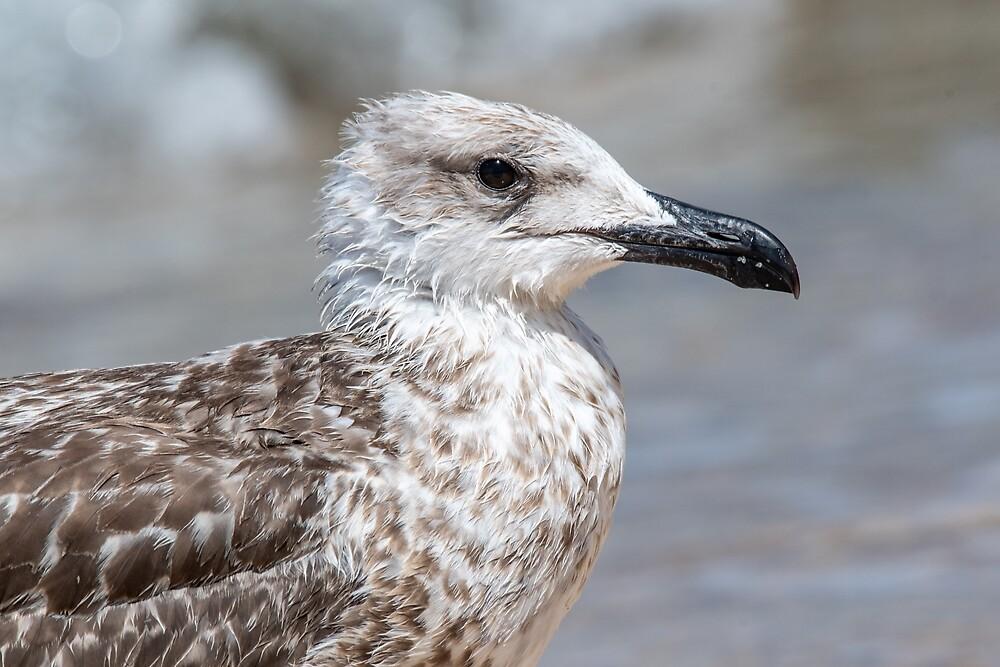Detailed portrait of  Juvenile Yellow-legged gull (larus michahellis) by JPopov