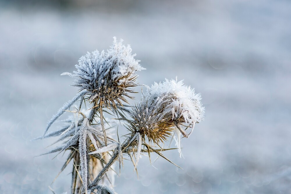 Flower in winter with frozen ice crystals by JPopov