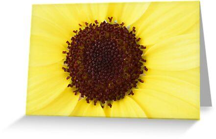Argyranthemum  Grandaisy Bright Yellow  Marguerite  Grandaisy Series  by Chris Burrows