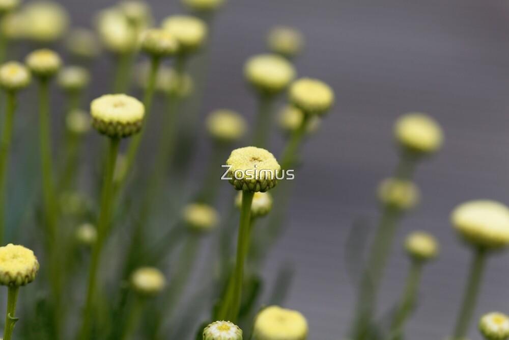 Blooms of Santolina viridis by Zosimus