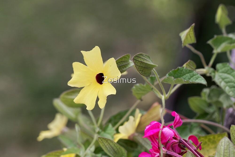 Black eyed susan (Thunbergia alata) by Zosimus