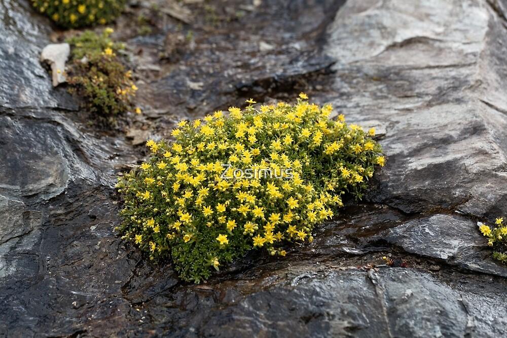 Flowers of musky saxifrage (Saxifraga moschata) by Zosimus