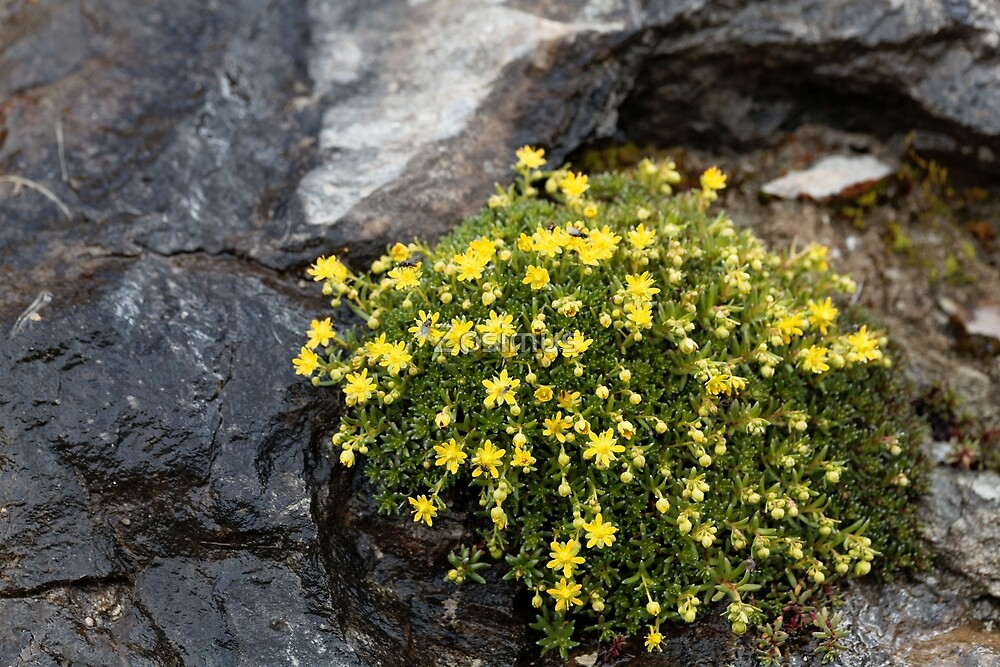 Flowers of musky saxifrage (Saxifraga moschata) by Zosimus