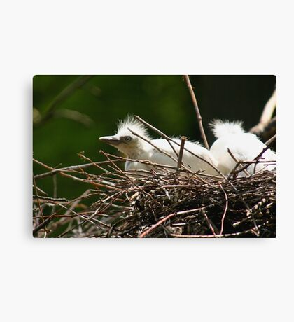 Cattle Egret Chick in Nest Canvas Print