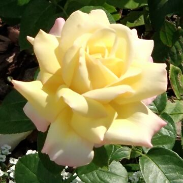 Yellow rose in the garden by designer437