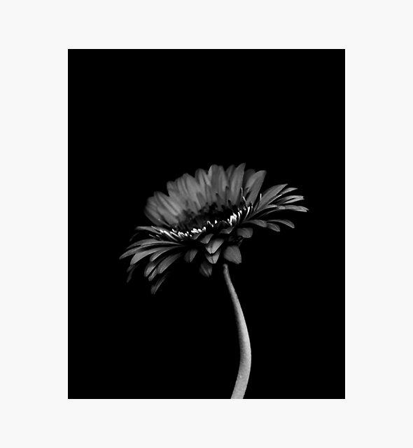 Gänseblümchen Gerbera. Schwarz und weiß von VanGalt