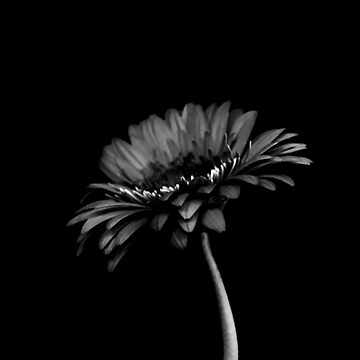 Daisy gerbera. Black and white  by VanGalt