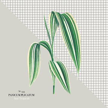Panicum Plicatum by monpetitbambino