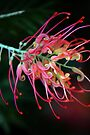 Spider Flower by Renee Hubbard Fine Art Photography