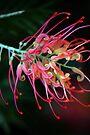 Spider Flower by Extraordinary Light