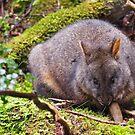 Tasmanian pademelon by Lissie EJ