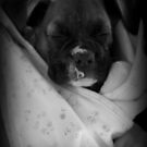 Baby Boxer - Boxer Dog Series by Evita