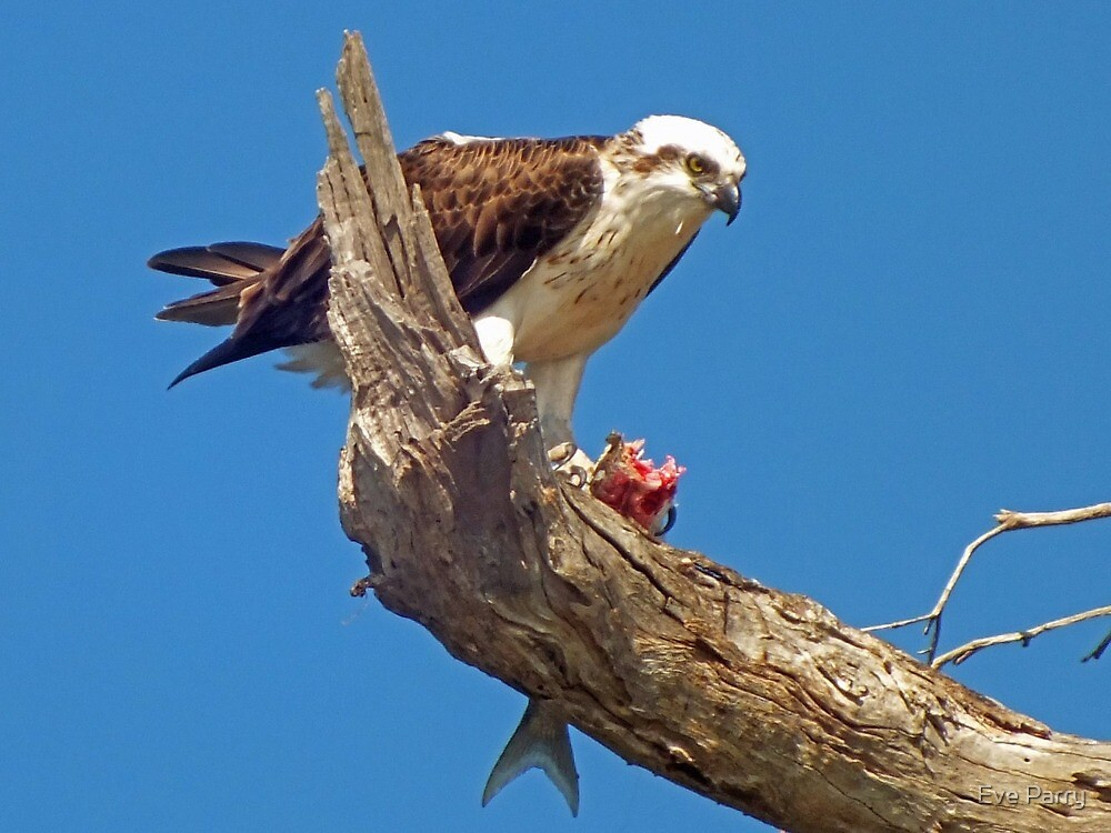 Osprey eating fish in tree by Eve Parry