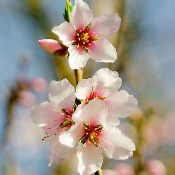Cherry Blossom by CatherineV