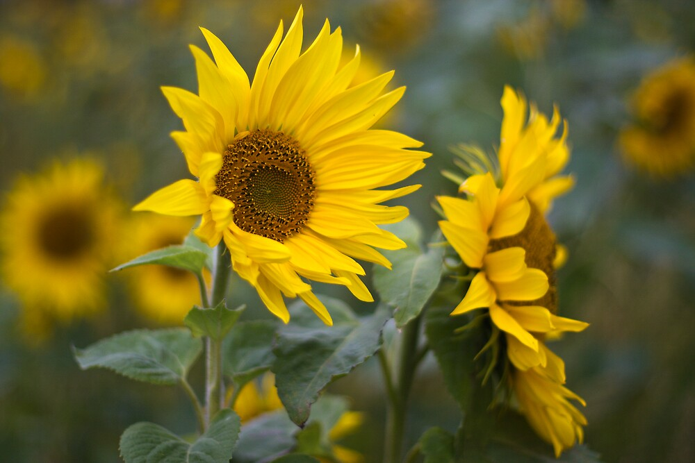 Sunflowers by Steve Chilton