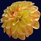 Two Colored Dahlia by hurmerinta
