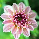 Beautiful Creme Dahlia by hurmerinta