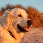 Golden Retriever Ditte, 8th April 2004 - 27th August 2018 by Trine
