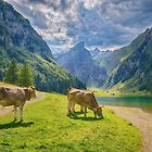 Swiss Cow Living On The Alps  by Susan Dost