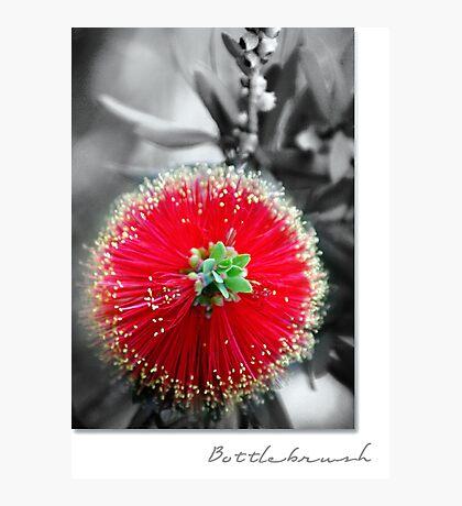 """Bottlebrush"" Callistemon Photographic Print"